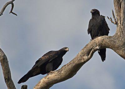 wedge_tailed_eagle