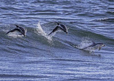 Burrunan_dolphin_3