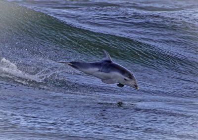 burrunan_dolphin_4