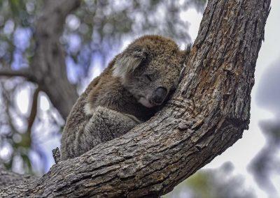 raymond_island_koala
